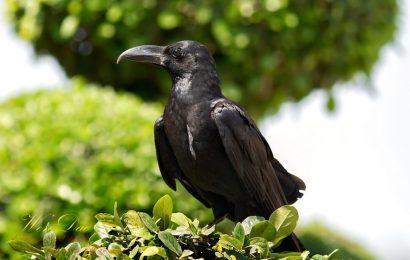 [新聞] 日本國鳥——烏鴉在日本的特殊待遇